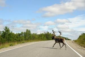 reindeer-crossing-the-road-1419291-m